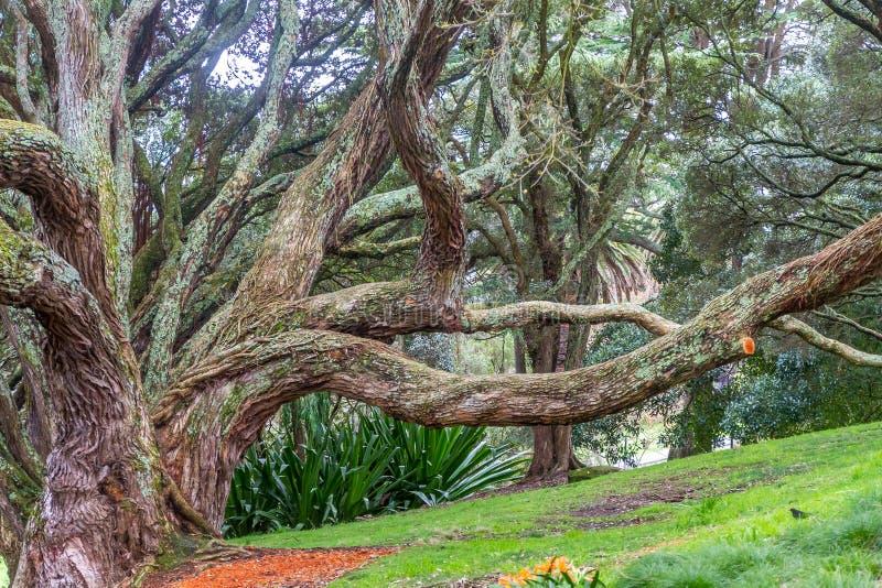 Raizes do suporte da árvore de figo da baía de Moreton foto de stock royalty free