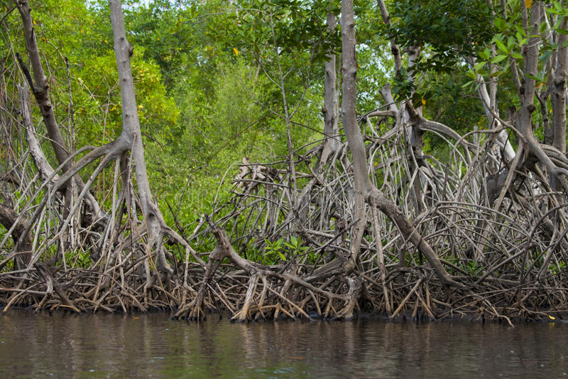 Raizes dos manguezais foto de stock royalty free