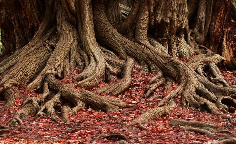 Raizes e folhas do vermelho foto de stock