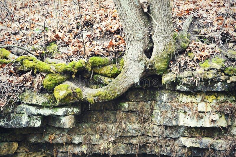 Raizes e rochas do tronco de árvore fotos de stock