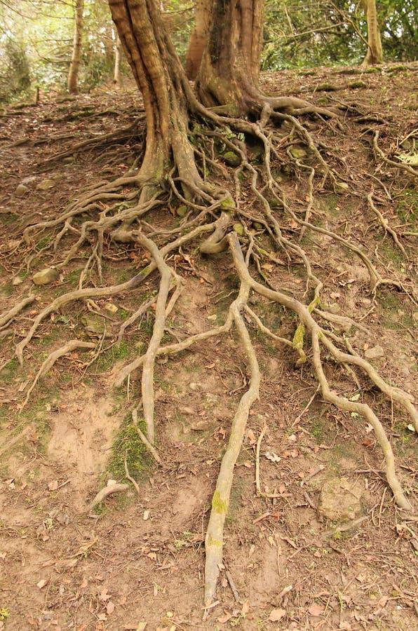 Raizes expostas de uma árvore foto de stock