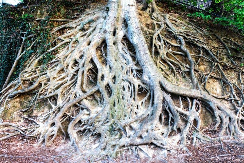 Raizes expostas de uma grande árvore em Greenville South Carolina imagens de stock