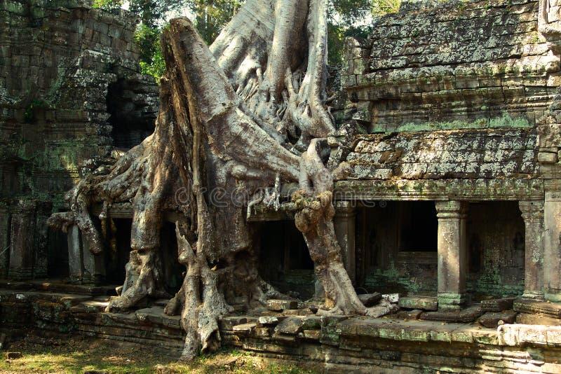 Raizes grandes em Angkor Wat fotos de stock