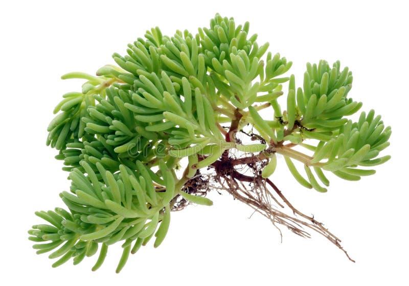 Raizes longas de uma planta suculento verde pequena fotografia de stock royalty free