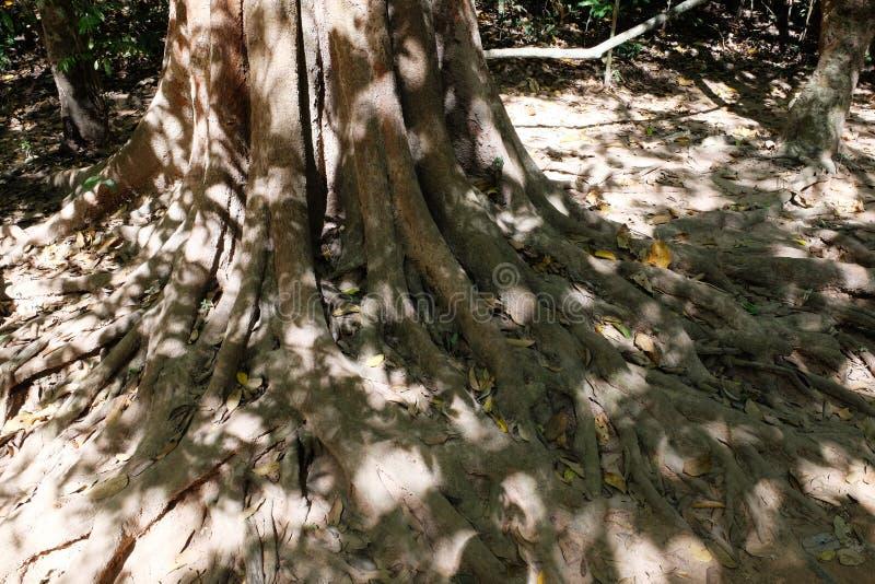 Raizes pitorescas de uma árvore tropical Sistema ramificado da raiz fotografia de stock royalty free