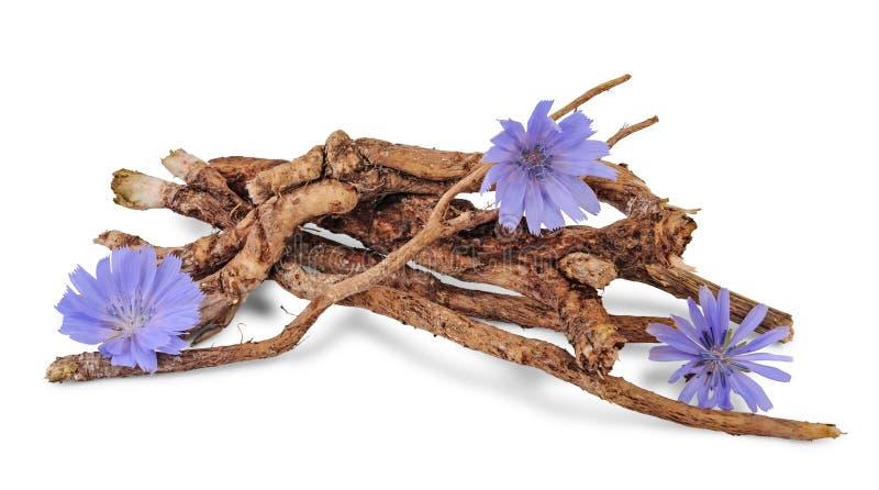Raizes secas da chicória com as flores isoladas no branco foto de stock royalty free