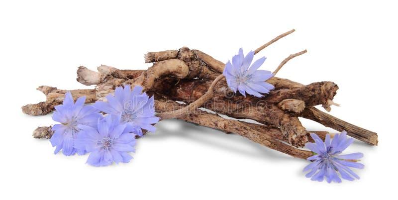 Raizes secas da chic?ria com as flores isoladas no branco fotografia de stock