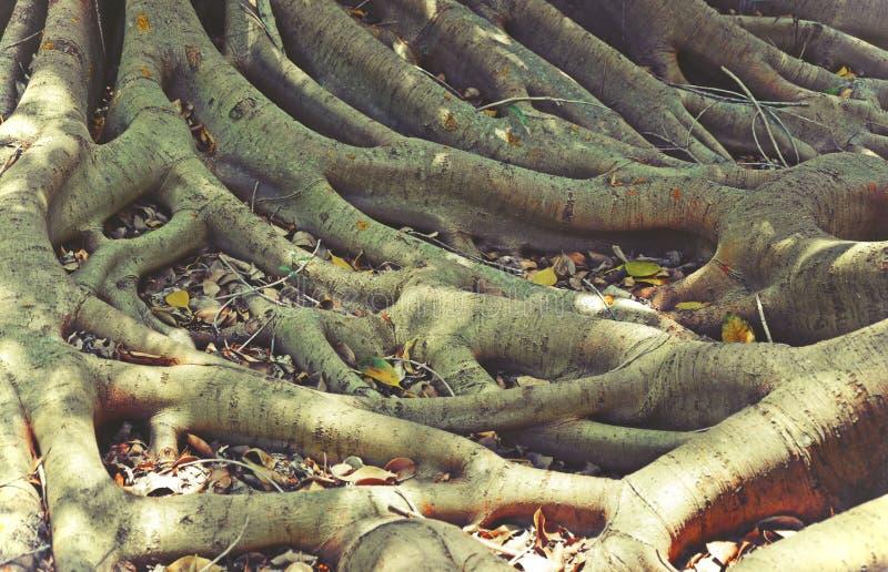 Raizes Tangled da árvore de figo fotografia de stock