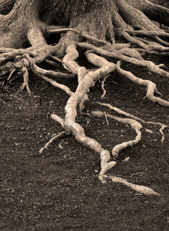 Raizes velhas do pinheiro imagem de stock