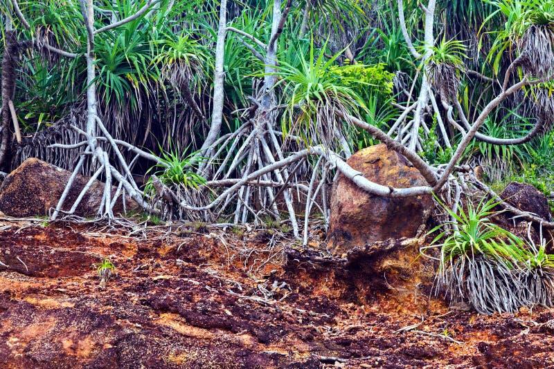 Raizes verdes da árvore dos manguezais fotografia de stock