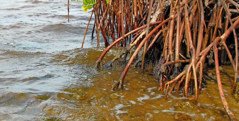 Raizes vermelhas dos manguezais foto de stock royalty free