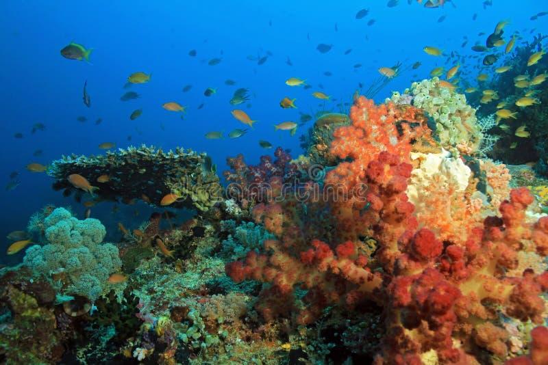 Raja Ampat Coral Reef. Colorful Coral Reef against Blue Water. Dampier Strait, Raja Ampat, Indonesia stock photo