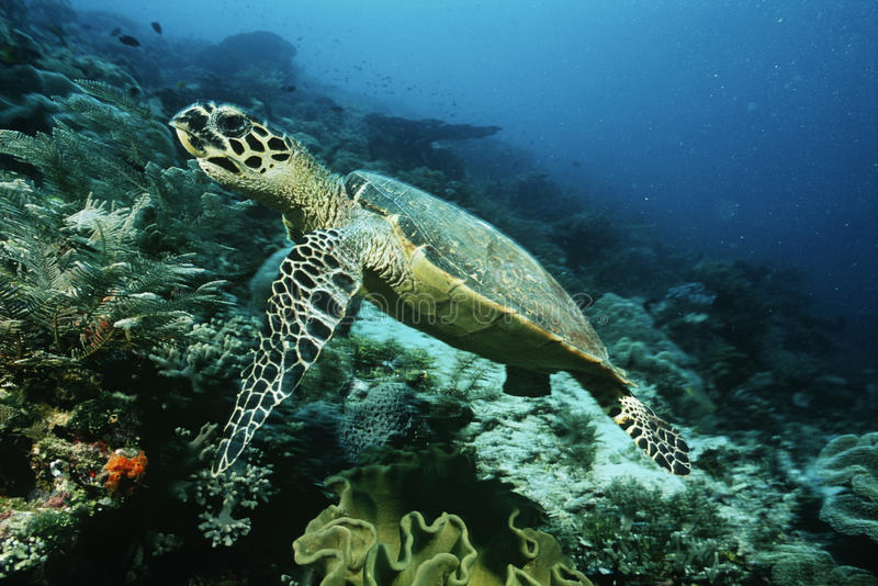 Raja Ampat Indonesia Pacific Ocean hawksbill turtle (eretmochelys imbricata) cruising above coral reef stock images