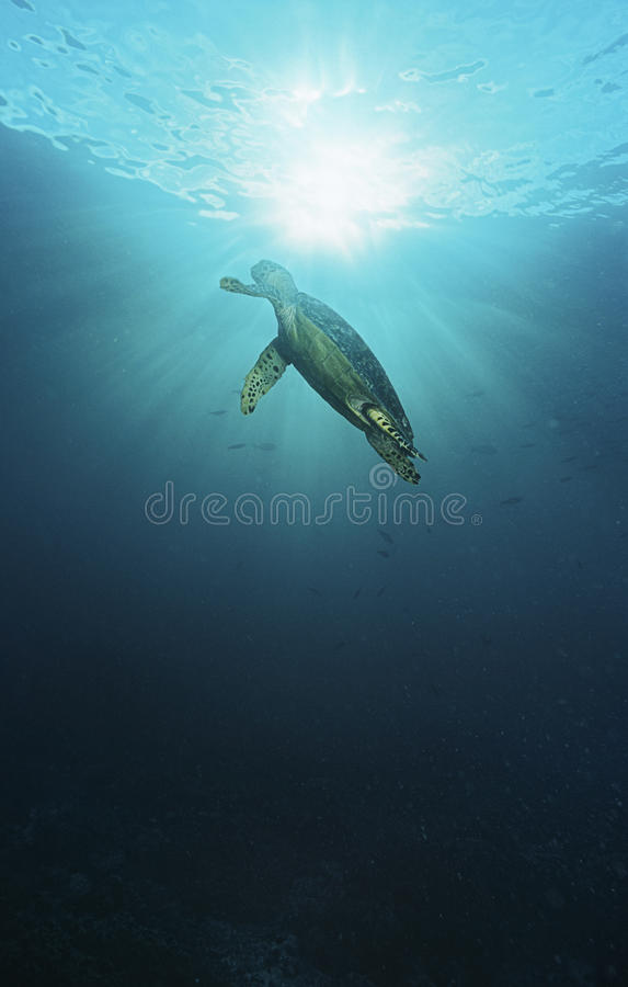 Raja Ampat Indonesia Pacific Ocean hawksbill turtle (Eretmochelys imbricata) swimming in sunbeams shining through water surface lo. W angle view royalty free stock images