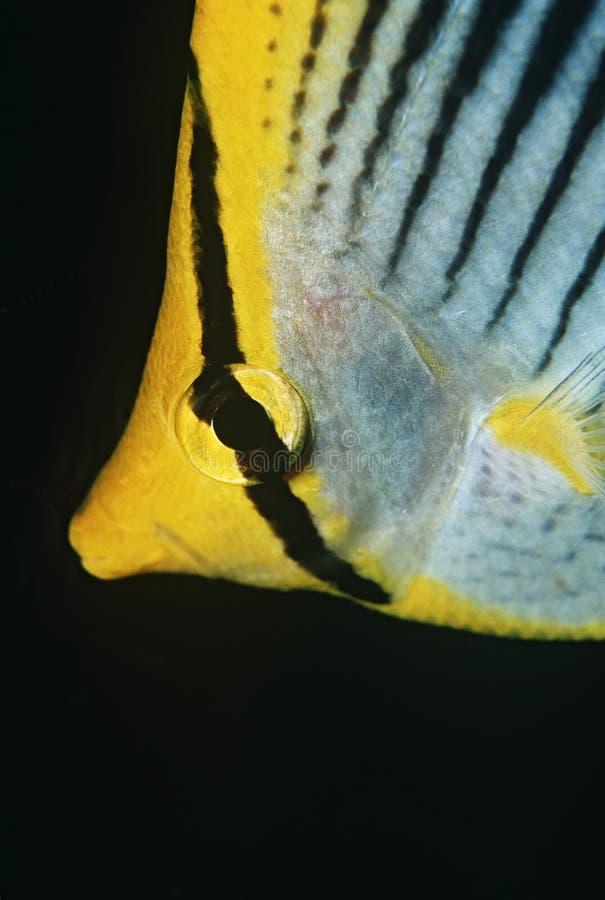 Raja Ampat Indonesia Pacific Ocean-vlek-staart butterflyfish (Chaetodon-ocellicaudus) close-up stock fotografie