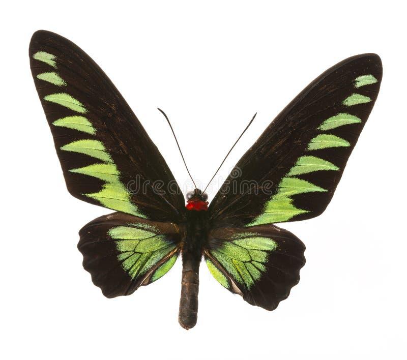 Raja Brooke Birdwings- tropical buttelfly images libres de droits
