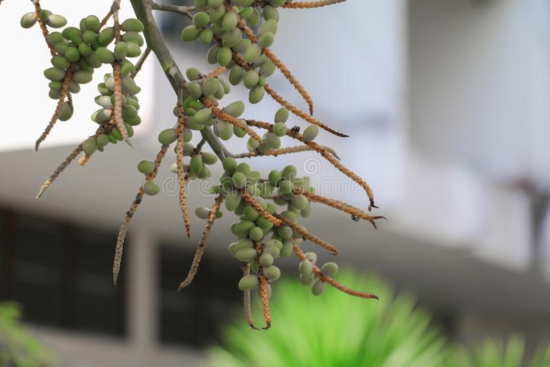 Raja Lipstick Palm Sealing vax, läppstift, raja, dekorativ växt för Maharajah i trädgård välj fokusen med grunt djup av fie royaltyfria foton