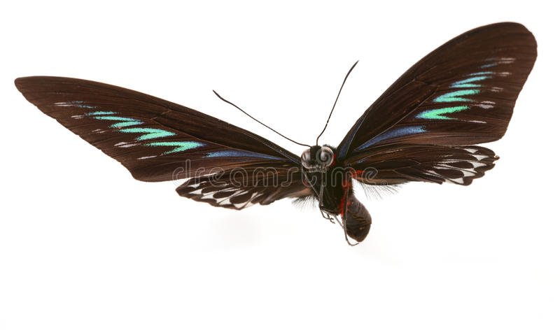 Rajah Brooke Birdwings- tropical buttelfly. Trogonoptera brookiana - Rajah Brooke Birdwings- tropical buttelfly - detail royalty free stock photos