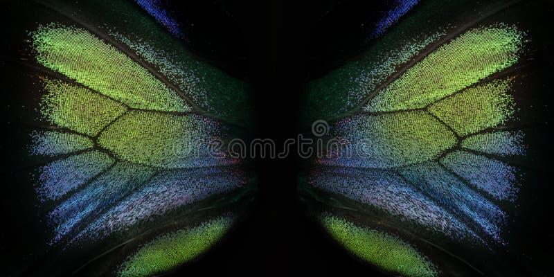 Rajah Brooke Birdwings- tropical buttelfly. Trogonoptera brookiana - Rajah Brooke Birdwings- tropical buttelfly - detail stock photography