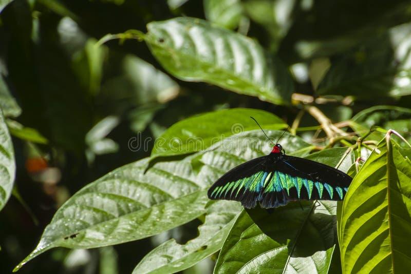 Rajah Brookes Birdwing Butterfly of Borneo stock image