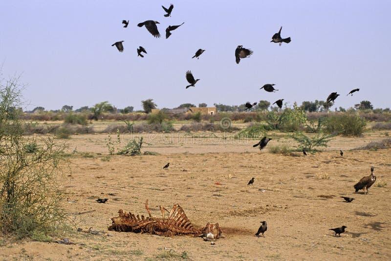 Rajasthan camel carcass royalty free stock photos