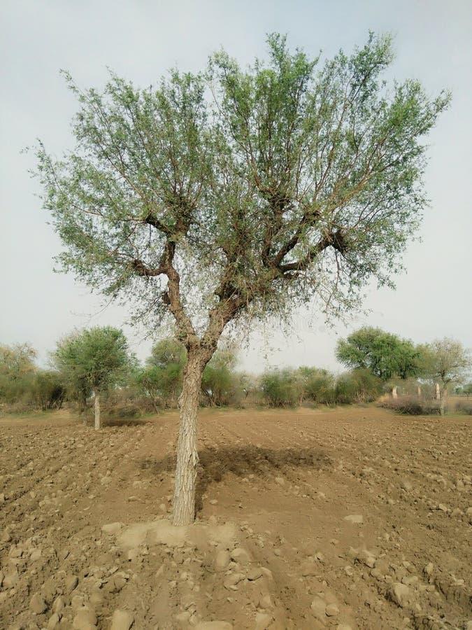 Rajasthan träd Kharedi royaltyfri bild