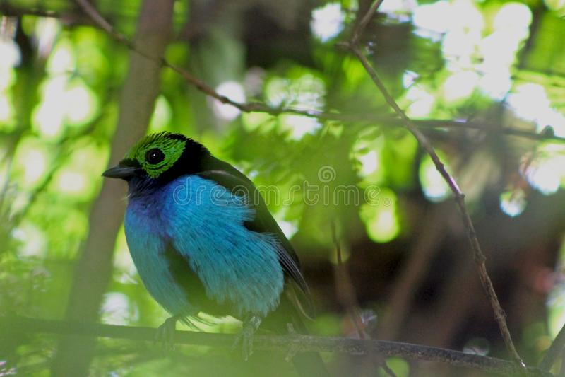 Raju tanager, Tangara chilensis obraz royalty free