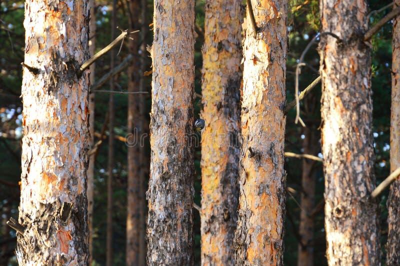 Raka stammar av sörjer i skogkrypandet i trädet arkivfoton