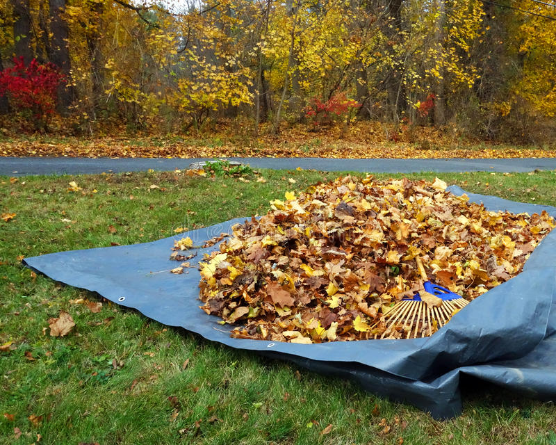 Raked up leafs. Fallen leafs raked onto a tarp for easier disposal: annual garden chore stock image