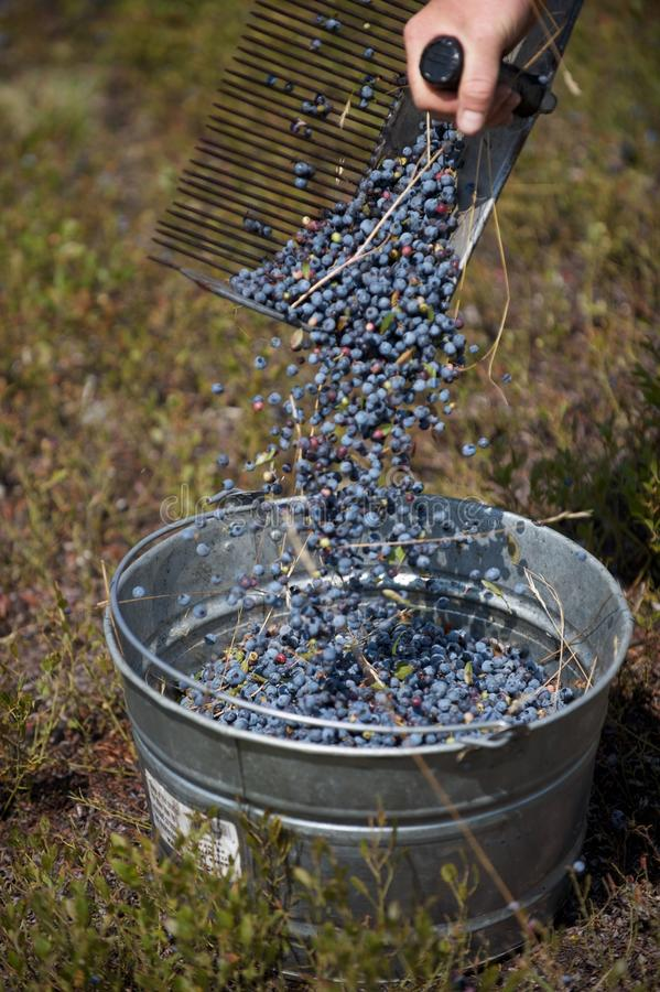 Raking Blueberries royalty free stock images