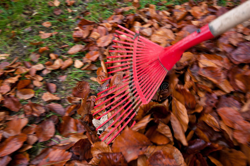 Raking leaves. remove leaves. gardening in the stock photography