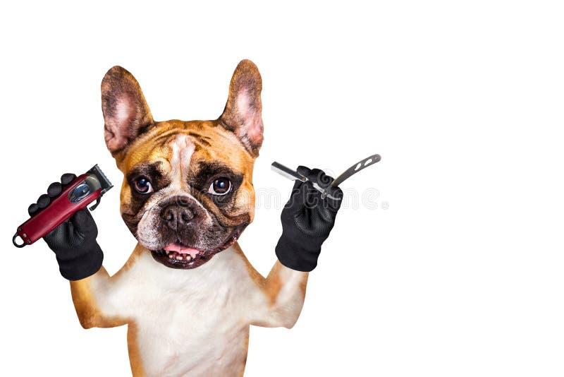 Rakkniv och clipper för rolig för hundingefära för fransk bulldogg för barberare håll för groomer rak bakgrund isolerad manwhite fotografering för bildbyråer
