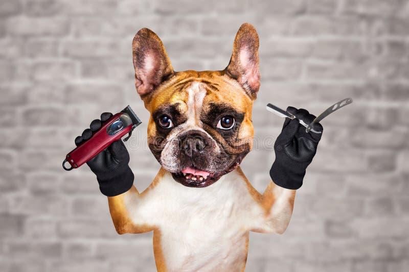 Rakkniv och clipper f?r rolig f?r hundingef?ra f?r fransk bulldogg f?r barberare h?ll f?r groomer rak man p? vit bakgrund f?r teg royaltyfri bild