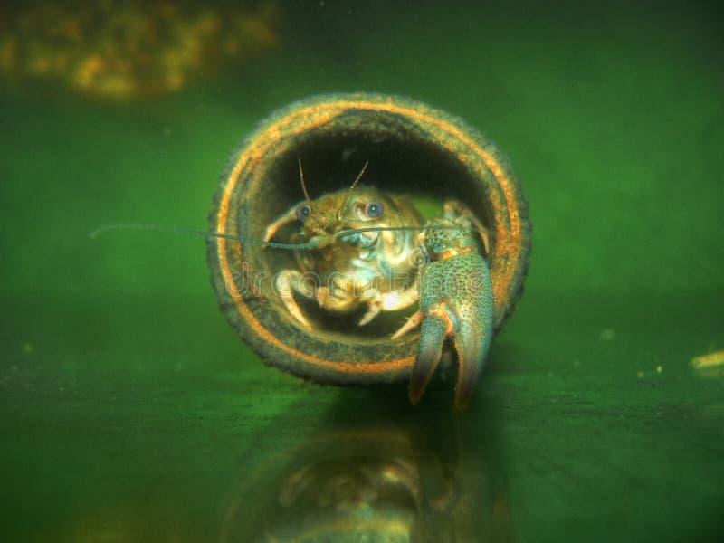 Rakowy kraba portret fotografia royalty free