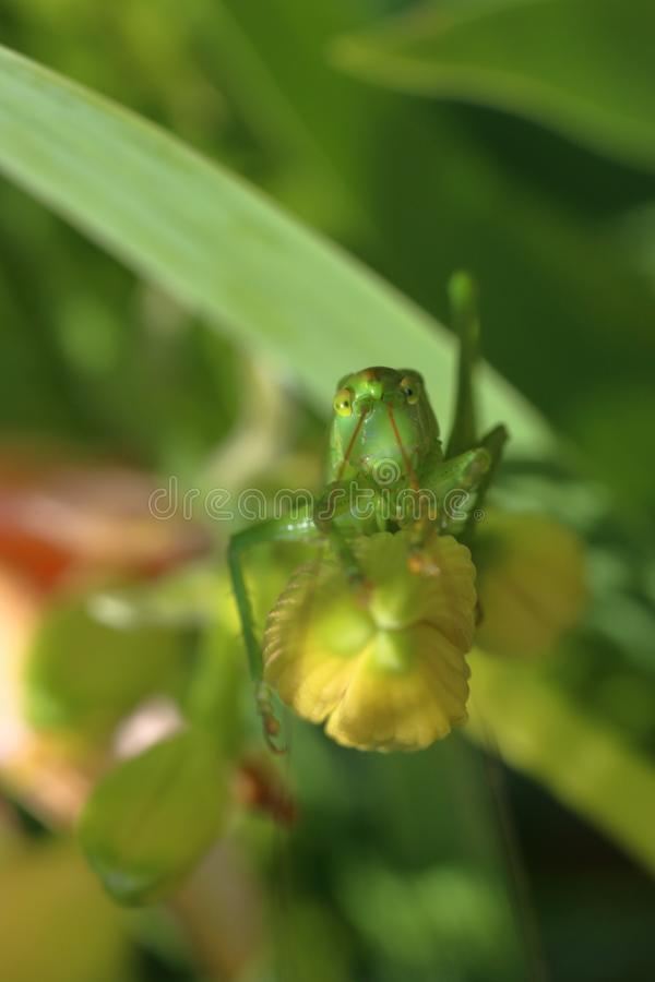 Rakt framifrån stående av en stor grön sjungande gräshoppa royaltyfria bilder