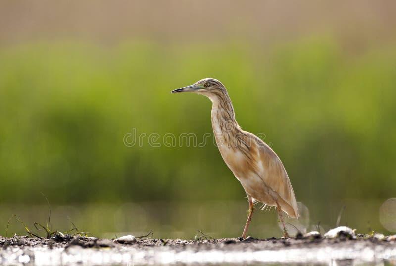 Ralreiger, Squacco Heron, Ardeola ralloides. Ralreiger staand langs een visvijver; Squacco Heron standing along a fishing pond stock photo