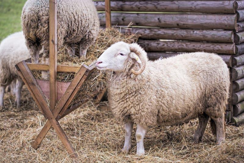 Ram à la ferme photos libres de droits