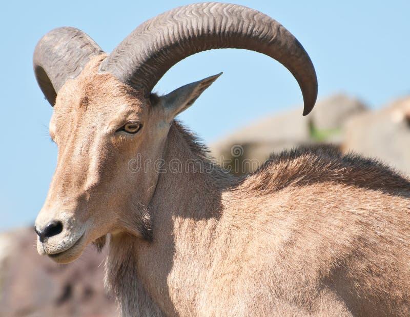 Download Ram stock photo. Image of portrait, animal, sheep, majestic - 20250078