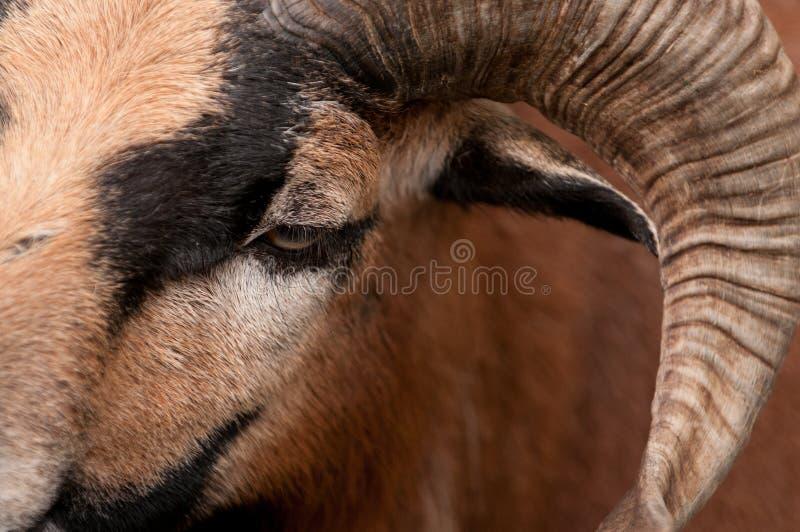Ram stock foto