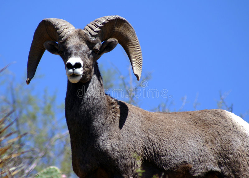 Download Ram stock image. Image of united, american, wildlife, horns - 58531