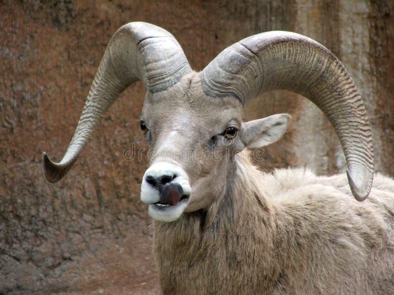 Ram royalty-vrije stock foto