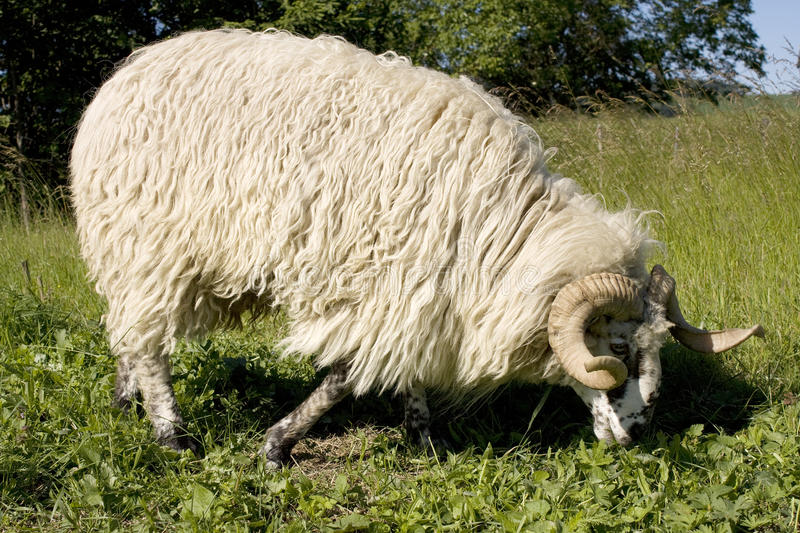 Ram. Longhair ram at a pasture royalty free stock images