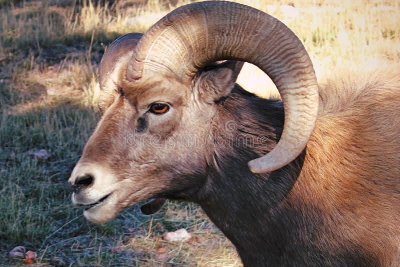 Ram americano de las ovejas de Bighorn imagenes de archivo