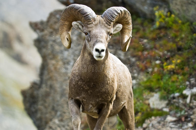 Download Ram big horn sheep stock photo. Image of mountain, horn - 12609894