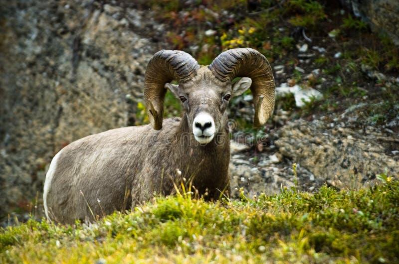 Ram Big Horn Sheep Royalty Free Stock Photography