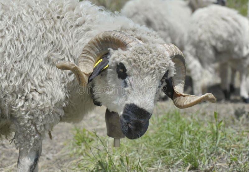 Ram com seus chifres torcidos fotografia de stock royalty free