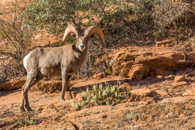 Ram de las ovejas de Bighorn del desierto imagen de archivo libre de regalías