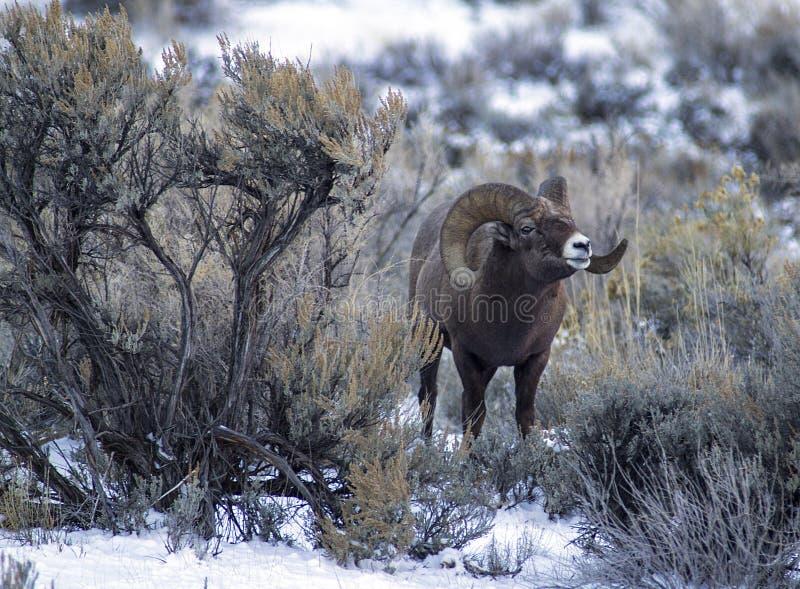 Ram de las ovejas del Big Horn en artemisa fotografía de archivo