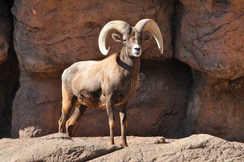 Ram de las ovejas del Big Horn en un acantilado rocoso imagen de archivo