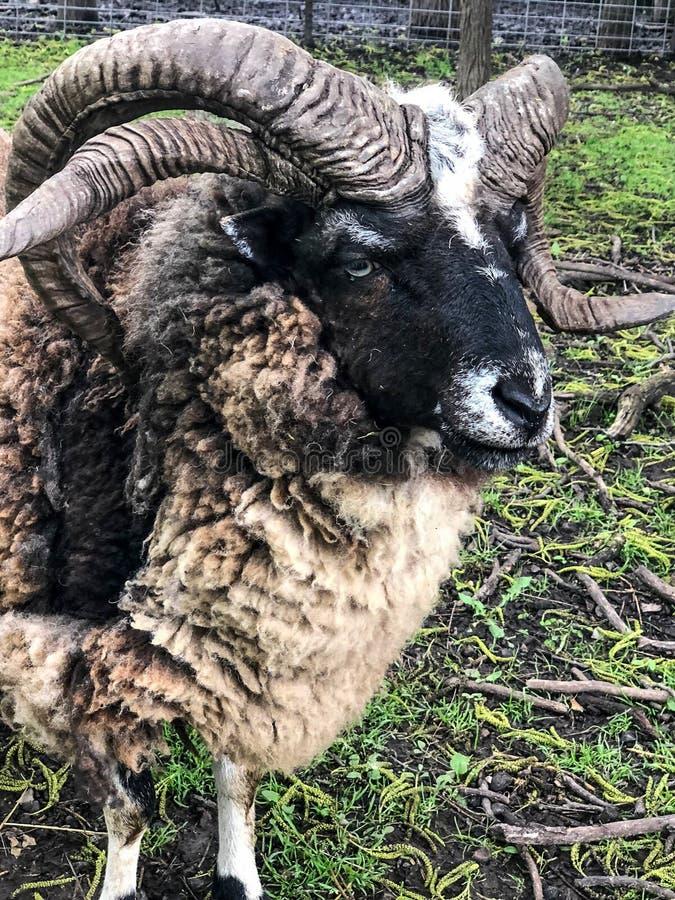 RAM de moutons avec quatre klaxons bouclés photo libre de droits